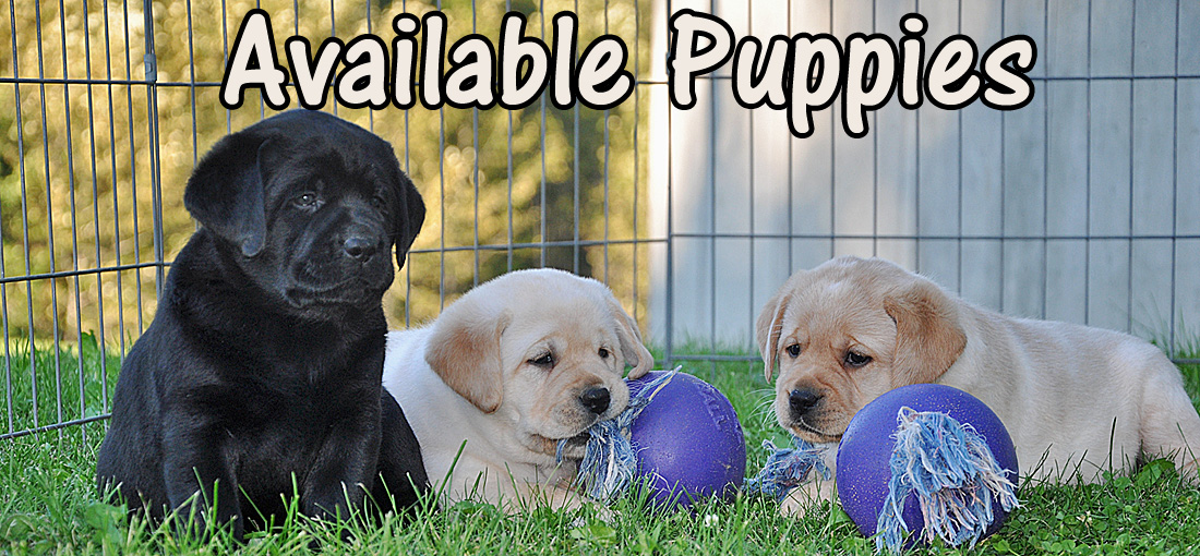 Riorock Labrador Retriever Puppies New England Puppy For Sale Puppies For Sale